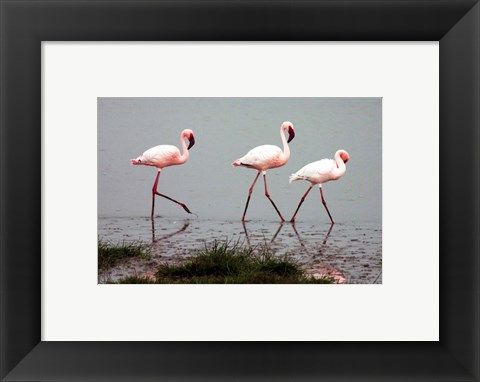 Framed Lesser Flamingos Print