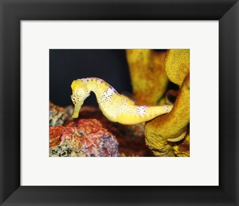 Framed Long Snout Seahorse Print