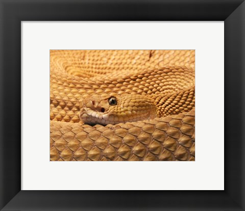 Framed Mexican West Coast Rattlesnake Print