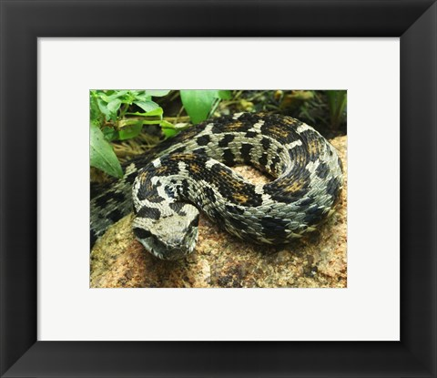 Framed Ocellated Mountain Viper Print
