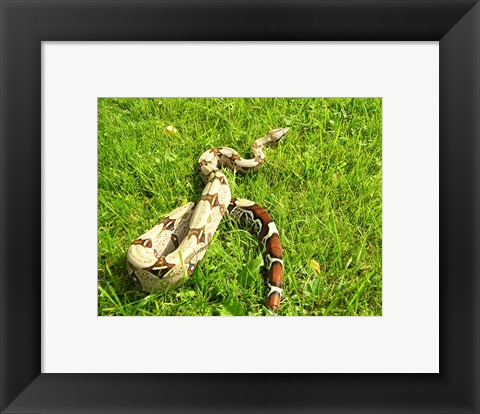 Framed Red Tail Boa Constrictor Print