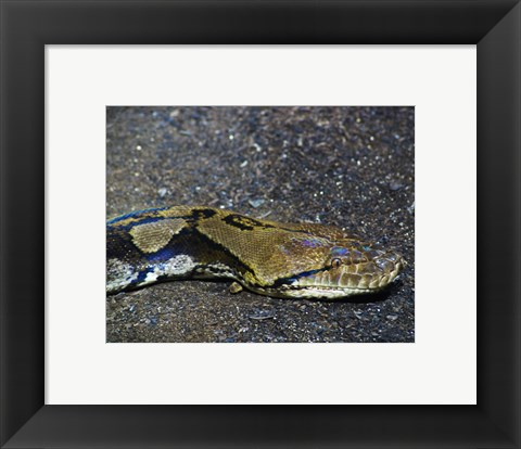 Framed Reticulated Python Head Print