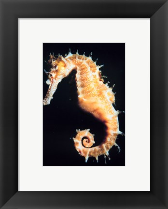 Framed Seahorse In Color Print
