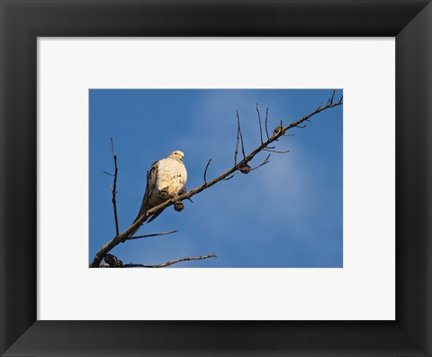 Framed Dove Above Print