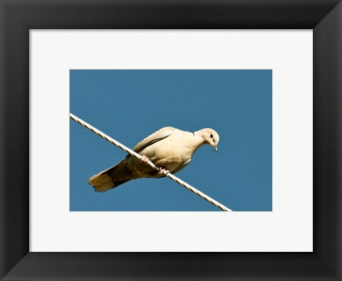 Framed Early Evening Eurasian Collared Dove Print