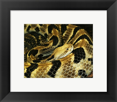 Framed Timber Rattlesnake Print
