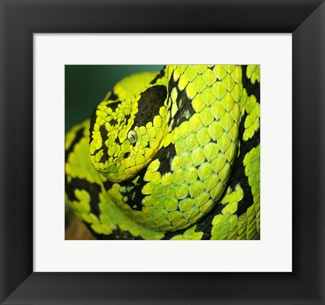 Framed Yellow Blotched Palm Viper Print