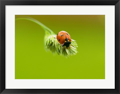 Framed Close-up of a ladybug on a flower Print