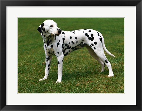 Framed Dalmatian In Field Print
