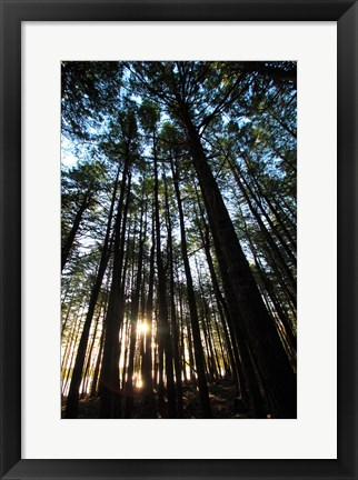 Framed Low angle view of trees in a forest at sunrise Print