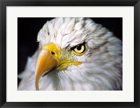 Framed Close-up of a Bald eagle (Haliaeetus leucocephalus) Print