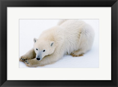 Framed Polar bear, Cape Churchill, Manitoba, Canada Print