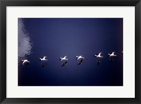 Framed High Angle View of a Flock of Lesser Flamingos Flying Print