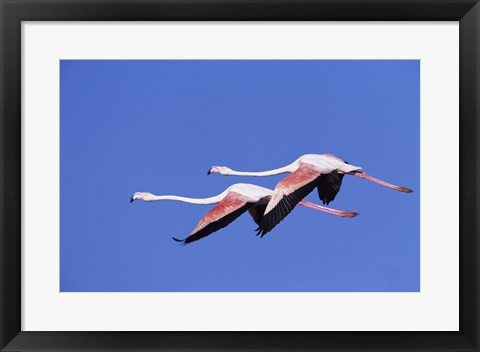 Framed Greater Flamingos Print