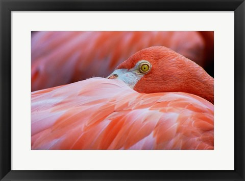 Framed Flamingo Hiding Face Print
