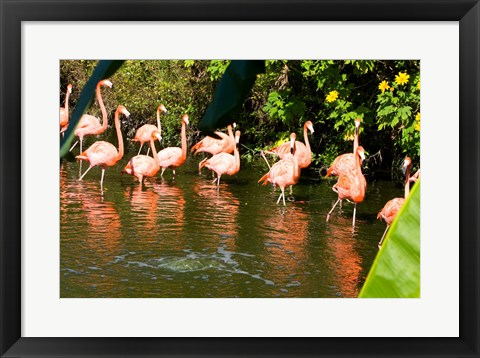 Framed American Flamingoes Wading in Water Print