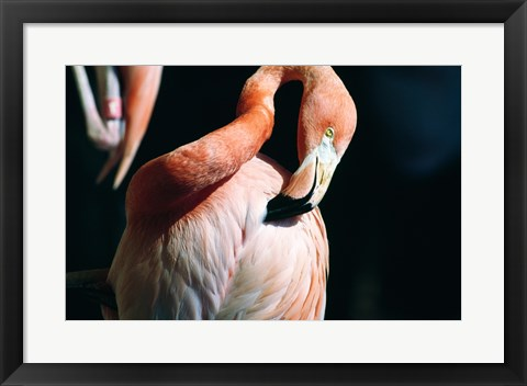 Framed Close-up of an American Flamingo Preening Itself Print