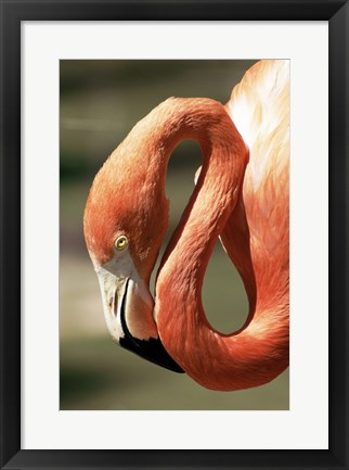 Framed Flamingo Close Up Print