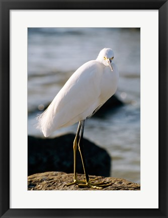 Framed Snowy Egret Standing on Rock by the Water Print