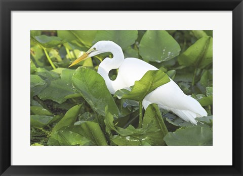 Framed High Angle View of a Great Egret Print