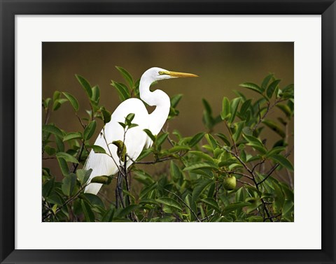 Framed Close-up of a Great Egret Perching on a Branch Print