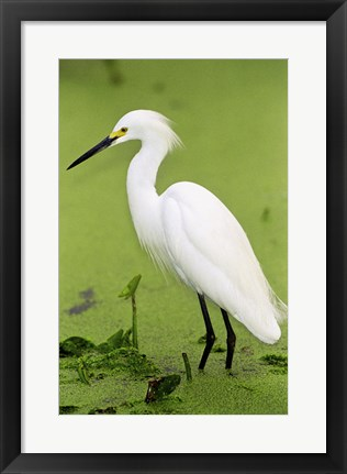 Framed Close-up of a Snowy Egret Wading in Water Print
