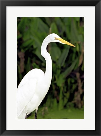 Framed Close-up of a Great Egret Print