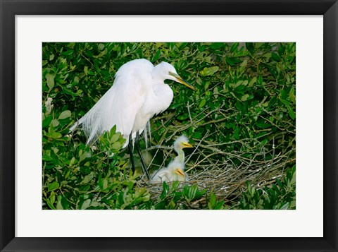 Framed Great Egrets Print