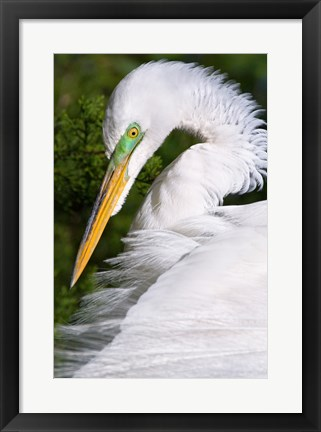 Framed Great Egret - up close Print