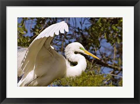 Framed Great Egret - open wings Print