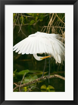 Framed Close-up of a Great White Egret Print