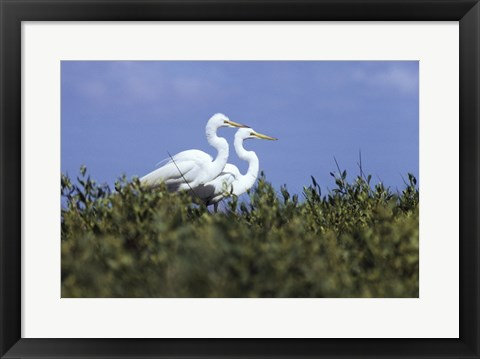 Framed Great Egret - two walking Print