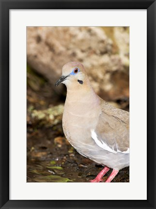 Framed Close-up of a White-Winged Dove, High Island, Texas, USA Print