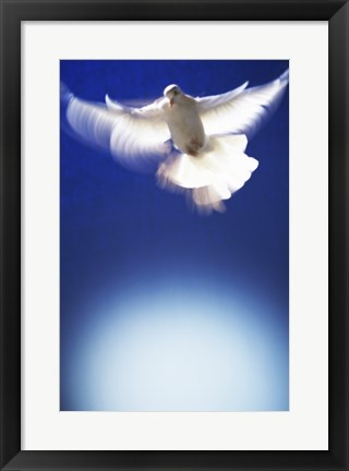 Framed White Dove in flight - blue Print