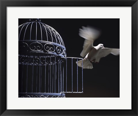 Framed White Dove escaping from a birdcage Print