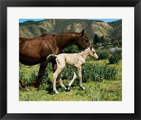 Framed Palomino Mare and a Colt Print
