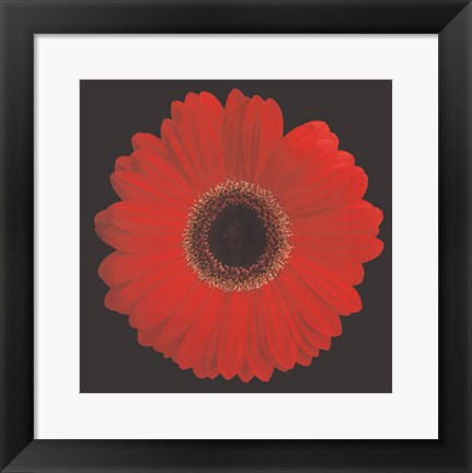 Framed Gerbera Daisy Red Print