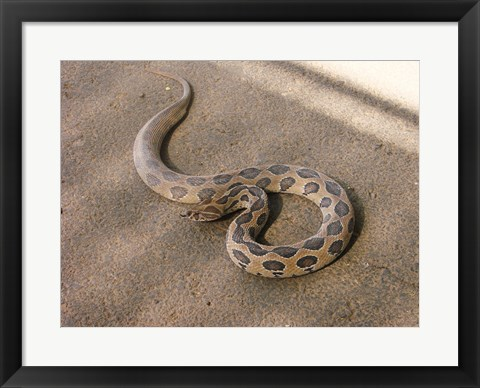 Framed Russels Viper Print