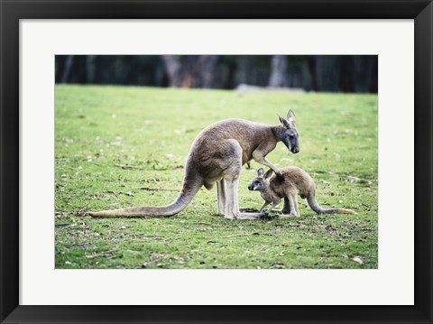 Framed Red Kangaroos Print