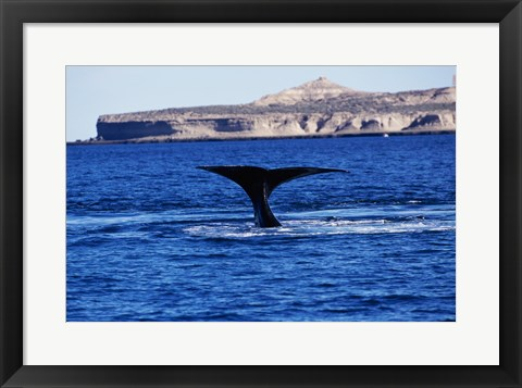 Framed Tail fin of a Southern Right Whale swimming in the sea, Argentina Print