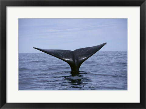 Framed Southern Right Whale Argentina Print
