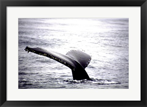 Framed Humpback Whale Black and White Tail Print