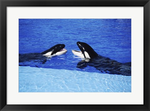 Framed Killer Whales Sea World San Diego California USA Print