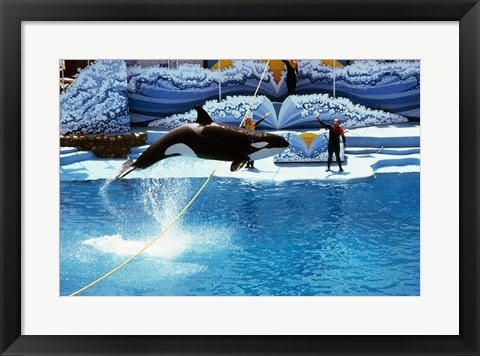 Framed Shamu-Killer Whale Sea World San Diego California USA Print