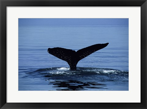 Framed Humpback Whale Tail Print