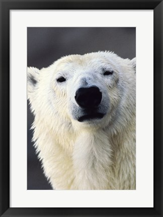 Framed Polar Bear Photo Print