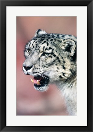 Framed Close up of Snow Leopard Print