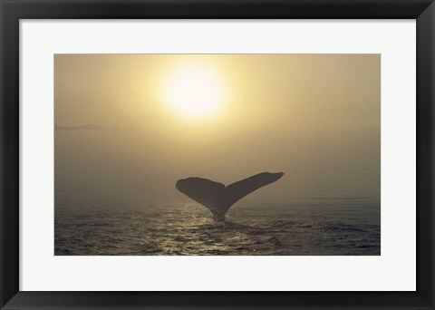 Framed Humpback Whale Tail at Sunset Print