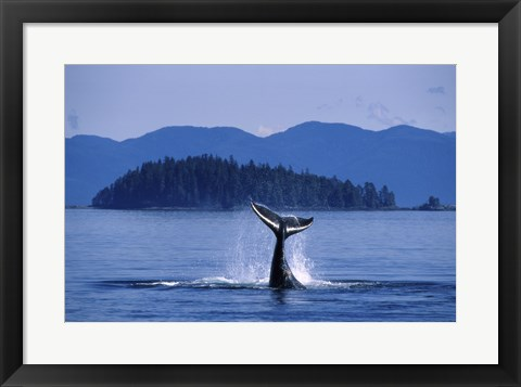 Framed Humpback Whale Diving Print