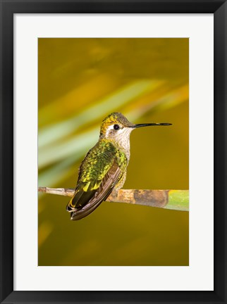 Framed Close-up of a Magnificent hummingbird perching on a leaf Print